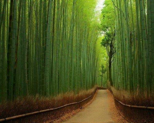 Drum intr-o padure de bambusi