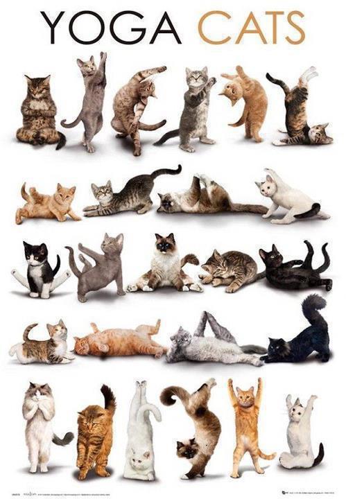 yoga cats pisici