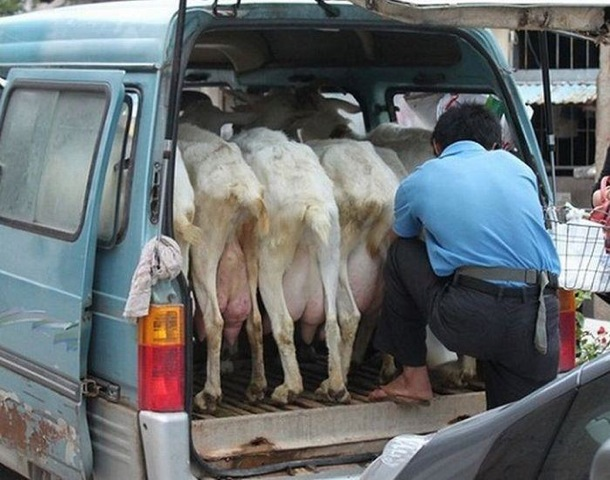 lapte proaspat direct de la sursa capre China 2
